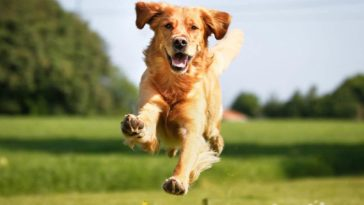 Picture of a Golden retriever in order to answer How to train your dog to walk on a leash