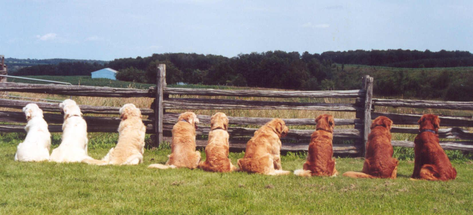 Different shades and types of Golden retrievers