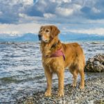 Cushing's Disease In Golden Retrievers
