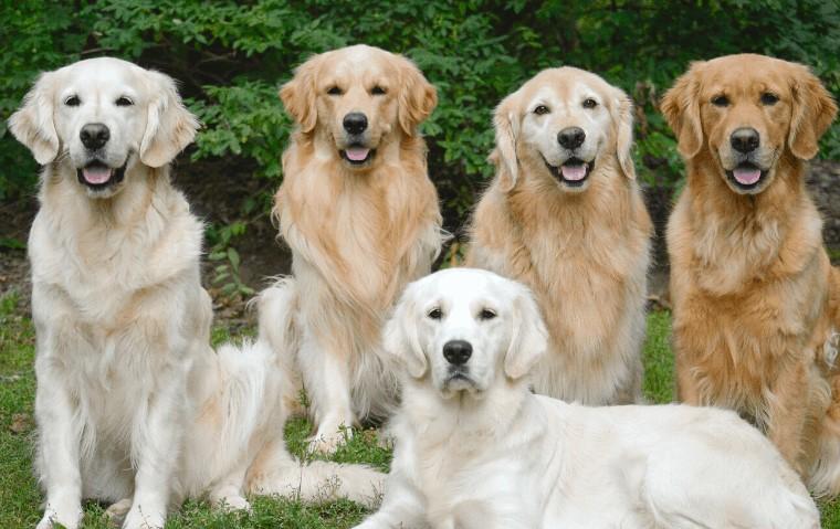 Types of Golden retrievers