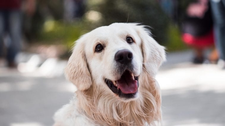 Kennel Cough in Golden Retrievers