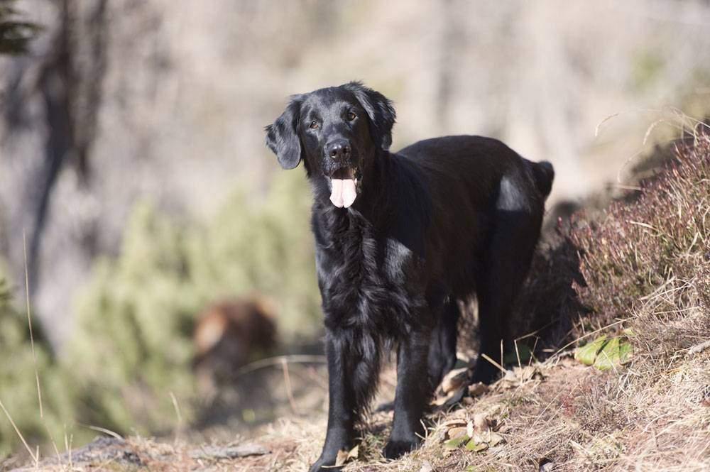 Black golden retriever: Strikingly different