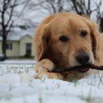Golden Retriever Right Dog