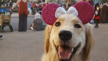Golden retriever at Disney in order to write about unique dog names that are Disney inspired