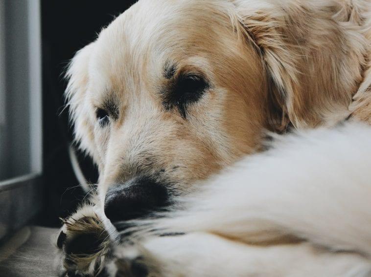 Golden Retriever Paw Care