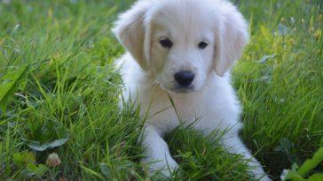 Puppy Strangles In Golden Retrievers