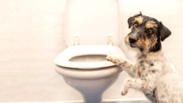 Dog next to a toilette - Dog constipation