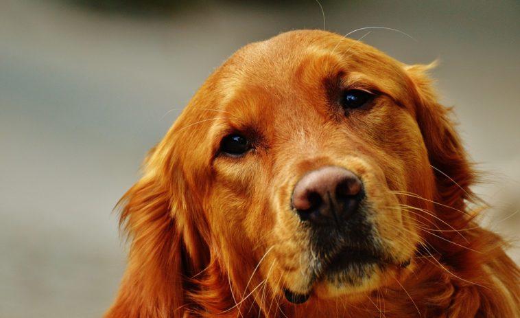 Nose Bleed In Golden Retrievers