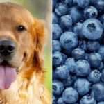 Split image of blueberries and a Golden retriever