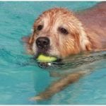 Golden retriever with tennis ball swimming in pool