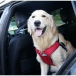 Golden retriever sitting in a car with a smile on his face