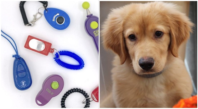 Training a golden retriever puppy with clickers