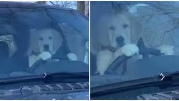 Golden retriever trying to drive
