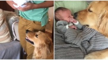 Golden retriever with baby sister