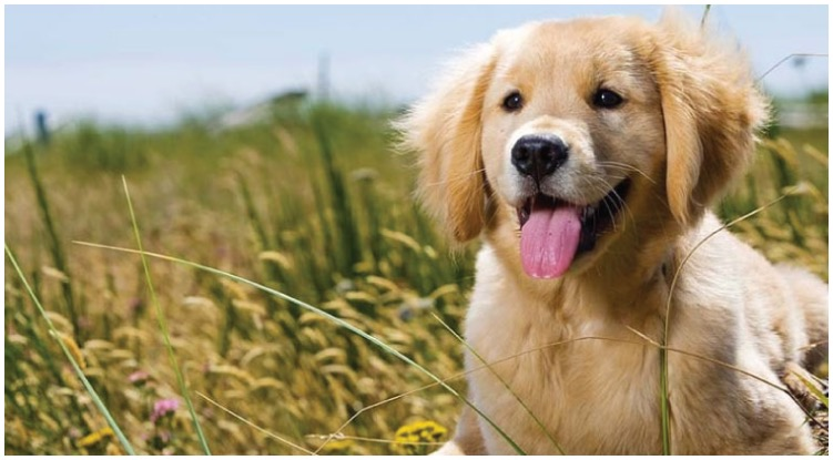 A golden retriever puppy is laying in a field and looking happy with his tongue out