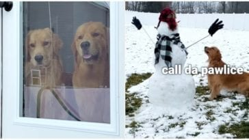 Two Golden retrievers discovering a snowman in their yard
