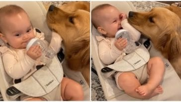 Golden retriever and baby spending their time together