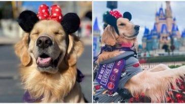 Nala the golden retriever enjoying her time at Disney World amusement park