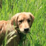 golden retriever eating grass