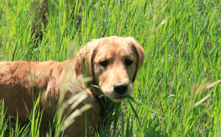 golden retriever eating grass