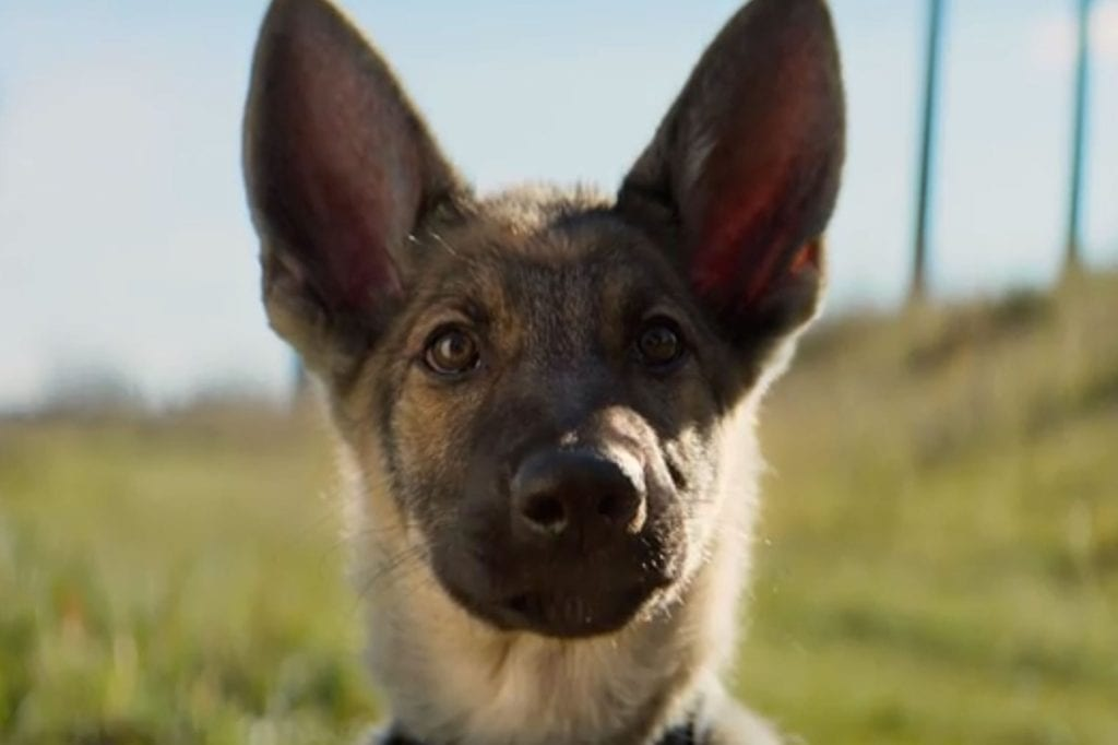 Image is there to show what police dog Ellie from the movie A dog's purpose looks like