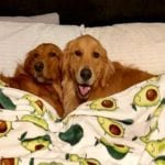 Golden retrievers best friends