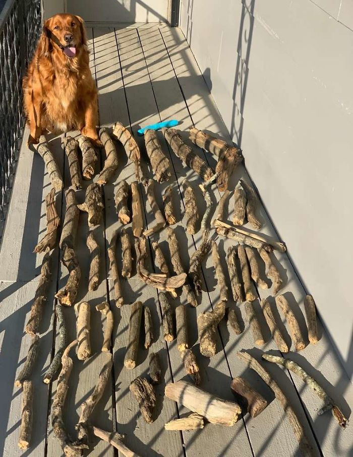 Golden retriever named Bruce next to his stick collection