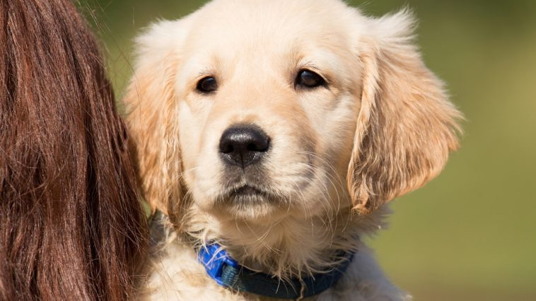 Are Golden Retrievers Easy To Train