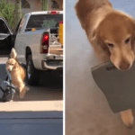 Golden Retriever Helps Owner