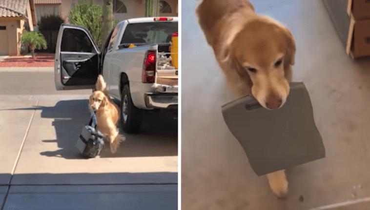 Golden Retriever Helps Owner