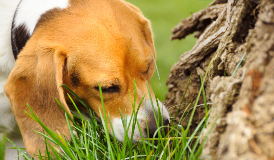Dog eating grass. Why do dogs eat grass?