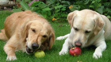 Two Golden retrievers eating apples