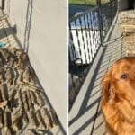 Golden retriever Bruce posing next to his stick collection