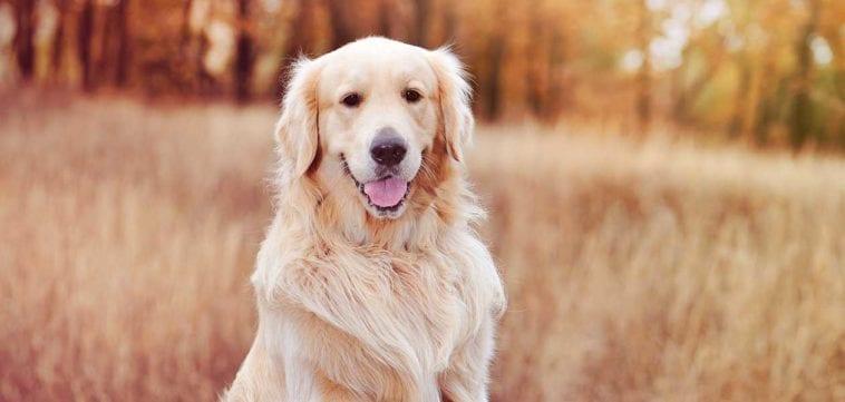 A Golden retriever with beautiful coat