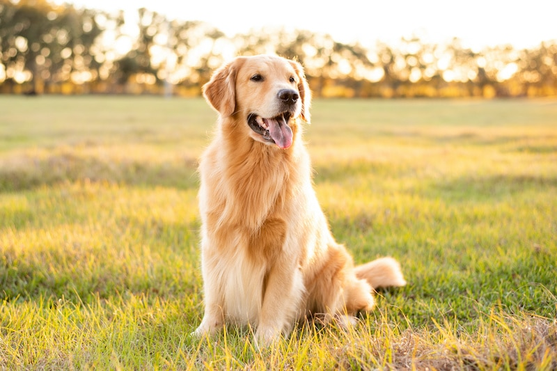"""Picture of a Golden retriever and its beautiful coat in order to answer the question """"Can you shave a Golden retriever""""."""