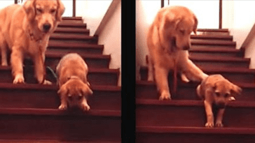 Golden retriever helps puppy to go dodw the stairs