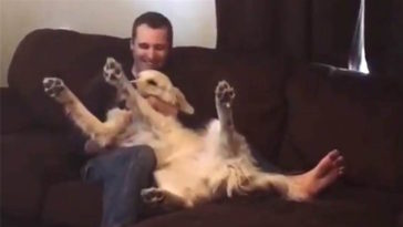 Golden retriever plays trust fall