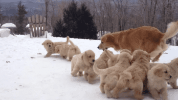 mom playing with goldie puppies