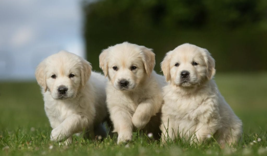 Healthy puppies from good Golden retriever breeders