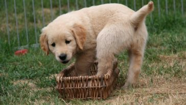 How Much Exercise Does A Golden Retriever Need