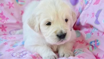 How Much Is A Golden Retriever Puppy