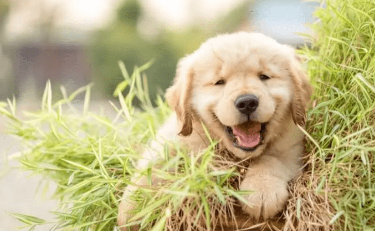 Happy Golden retriever puppy