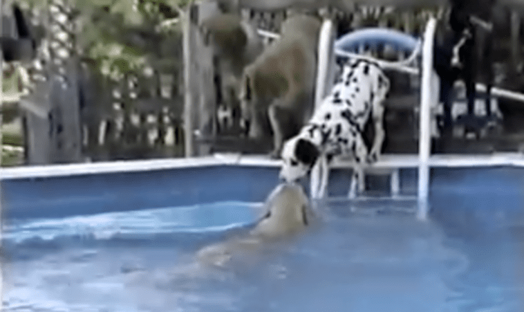 Golden retriever and dalmatian in the pool