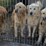 Golden retrievers in a cage in shelter