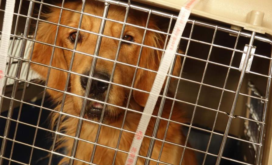 Shelter dog, Golden retriever rescue
