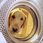 Golden Retriever Saving Teddy From Washing Machine