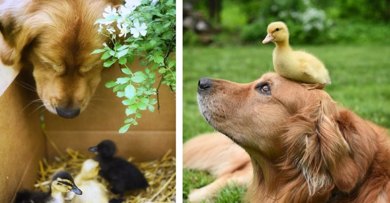 Golden Retriever and Ducklings
