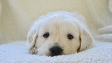 How Much Does A Golden Retriever Puppy Cost