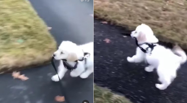 Puppy walks itself