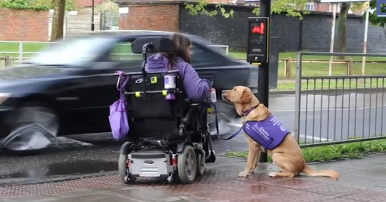 Golden Retriever Takes Care of Disabled Woman